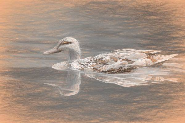 Photograph - Swimming Duck Da Vinci by Don Northup