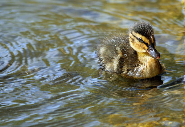 County Dublin Photograph - Swimming Duckling by © Esther Moliné