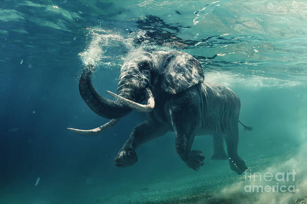 Wall Art - Photograph - Swimming Elephant Underwater. African by Willyam Bradberry