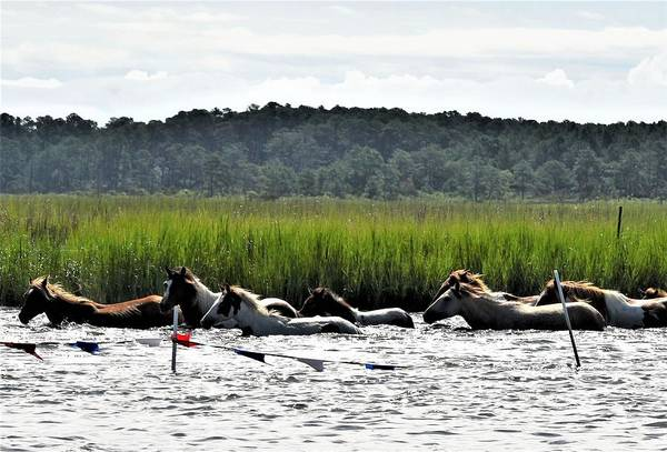 Photograph - Swimming The Channel - Chincoteague Pony Run by Kim Bemis