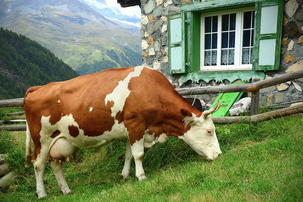 Chalet Photograph - Swiss Dairy Cow by Sbossert