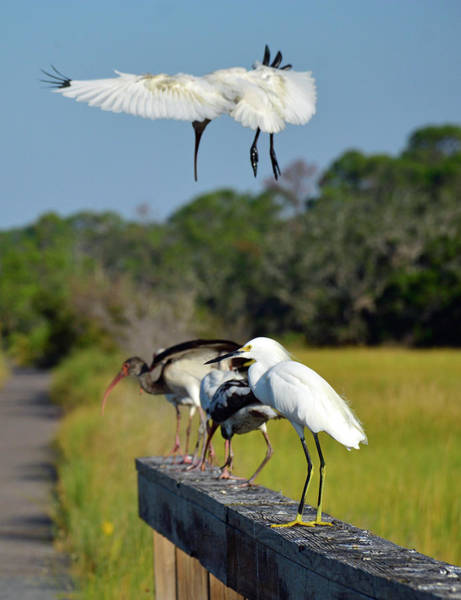 Photograph - Swooping In For A Landing by Bruce Gourley