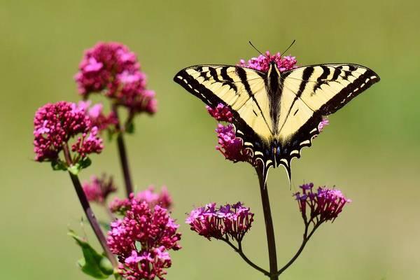 Photograph - Symmetry - Western Tiger Swallowtail by KJ Swan