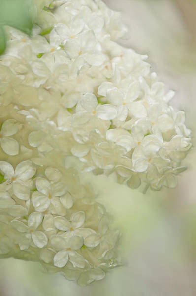 Rockville Photograph - Syringa Vulgaris by Maria Mosolova