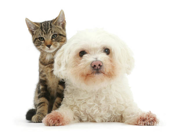 Photograph - Tabby And Bichon Love by Warren Photographic