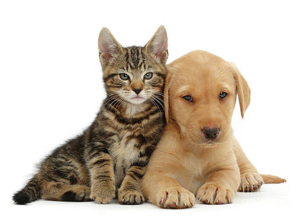 Photograph - Tabby And Lab Snuggling by Warren Photographic
