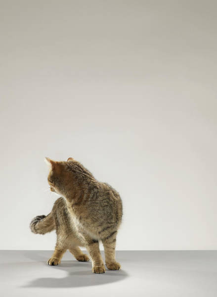 Shoulder Photograph - Tabby Cat Looking Behind by Michael Blann