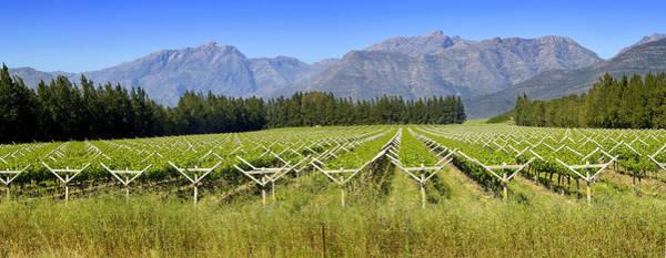 Cultivate Photograph - Table Grape Vineyard Saron, Western by Steve Corner