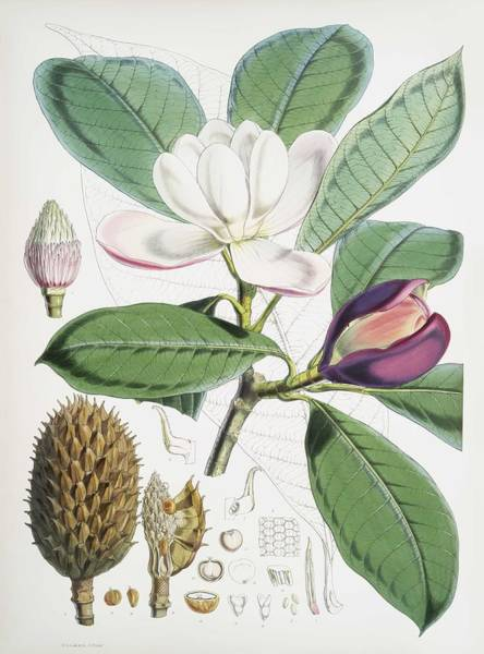 Wall Art - Painting - Talauma Hodgsoni Syn. Magnolia Hodgsonii From Illustrations Of Himalayan Plants 1855 By W. H. W by Fitch