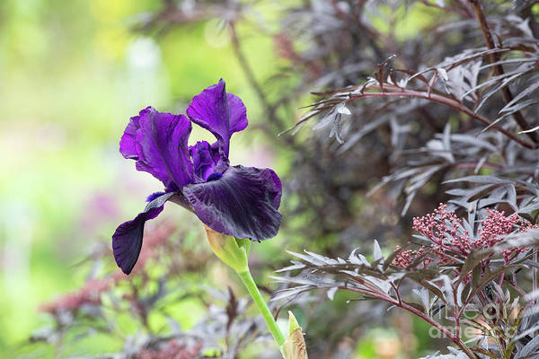 Photograph - Tall Bearded Iris Licorice Stick by Tim Gainey