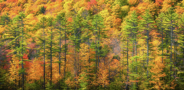 Photograph - Tall Pines In Fall by Christina DeAngelo