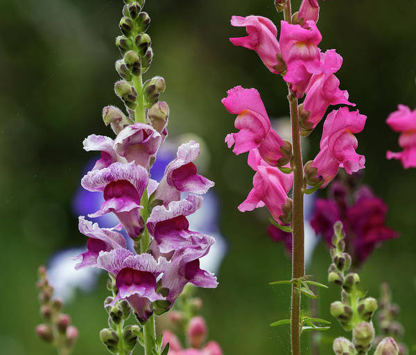 Photograph - Tall Snapdragons by Robert Potts