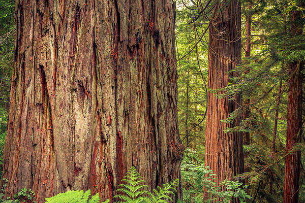 Photograph - Tallest Living Things On Earth by ProPeak Photography