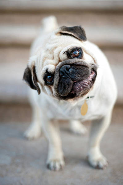 Cock Photograph - Tan & Black Pug Dog Tilting Head by Alex Sotelo