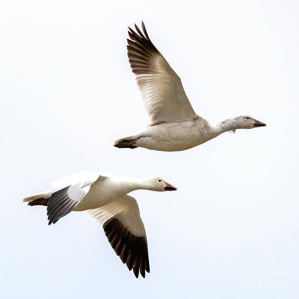 Snow Goose Photograph - Tandem Flight by Mike Dawson