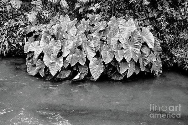 Wall Art - Photograph - Taro Plants by Gaspar Avila