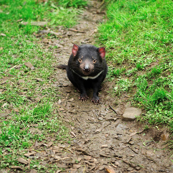 Photograph - Tasmanian Devil Found During The Day In Tasmania. by Rob D Imagery