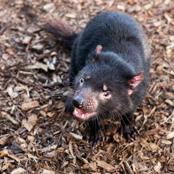 Photograph - Tasmanian Devil by Rob D Imagery