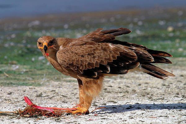 Eagle Photograph - Tawny Eagle by Copyright Ian Macfadyen