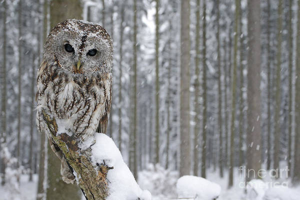Forest Bird Photograph - Tawny Owl In Snowfall During Winter by Ondrej Prosicky