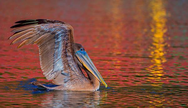 Photograph - Tchefuncte Pelican by Tom Gresham