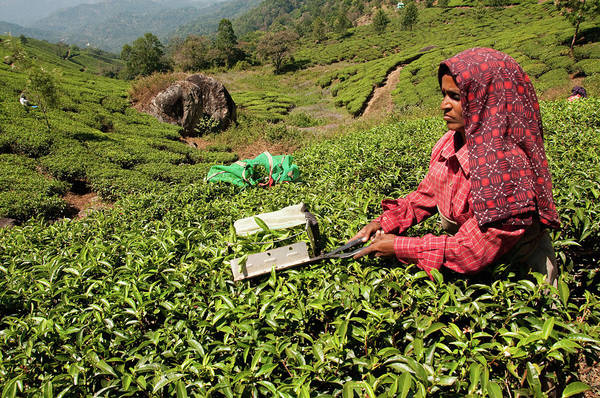 Real People Photograph - Tea Picker At Work In Field Of Tea On by Max Paddler
