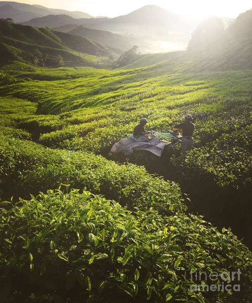 Wall Art - Photograph - Tea Pickers Agriculture Growth Harvest by Rawpixel.com