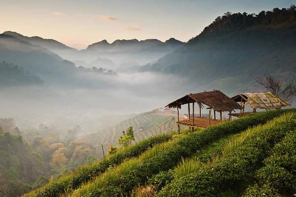 Chiang Mai Province Photograph - Tea Plant In, Chiang Mai by Ekkachai Pholrojpanya