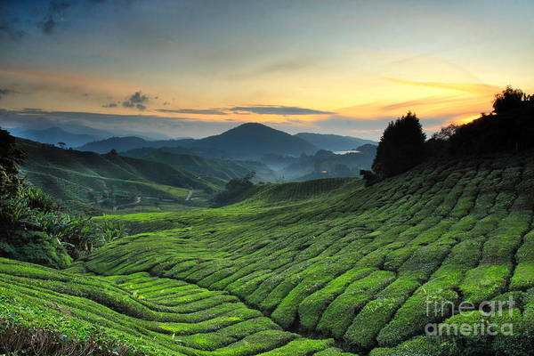 Freshness Wall Art - Photograph - Tea Plantation Cameron Highlands by Noolwlee