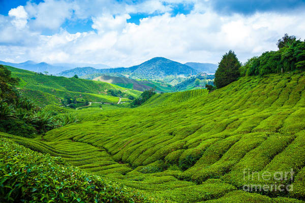 Estate Wall Art - Photograph - Tea Plantation In Cameron Highlands At by Blackcat Imaging