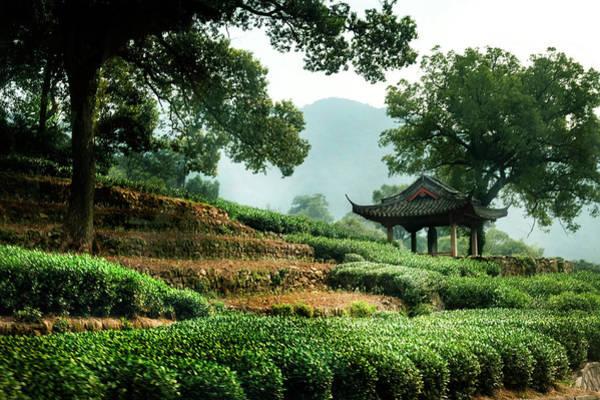 Photograph - Tea Plantation by Kathryn McBride