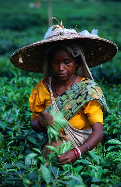 Indian Culture Photograph - Tea Plucker Picks Leaves From Bush To by Greg Elms