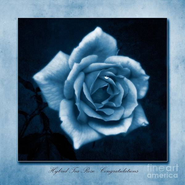 Wall Art - Photograph - Tea Rose Cyanotype by John Edwards