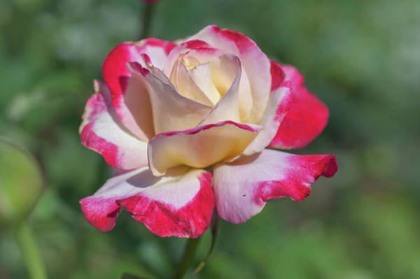 Photograph - Tea Rose Double Delight by Jenny Rainbow