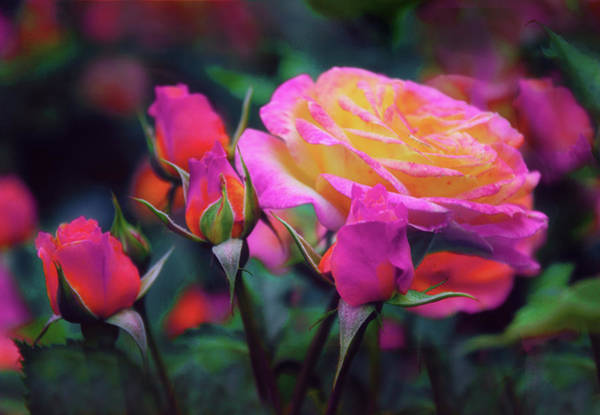 Photograph - Tea Roses by Jessica Jenney