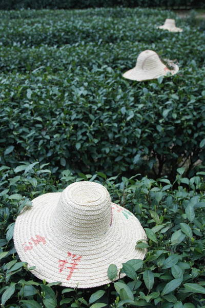 Sun Photograph - Tea Workers Hats Lying On Tea Bushes by Ian Trower / Robertharding