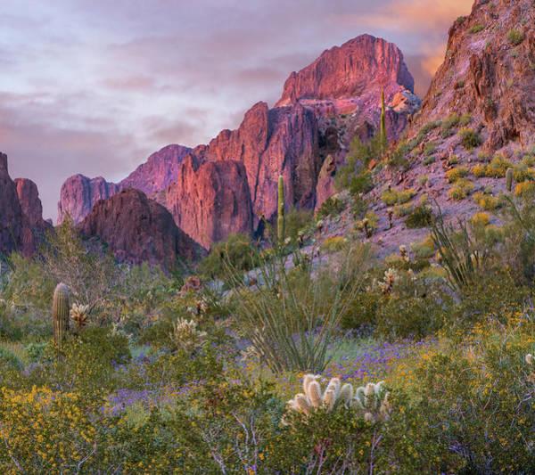 Wall Art - Photograph - Teddy Bear Cholla And Saguaro, Kofa by