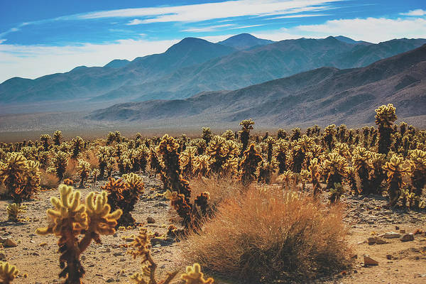 Photograph - Teddy Bear Chollas At Joshua Tree National Park by Andy Konieczny