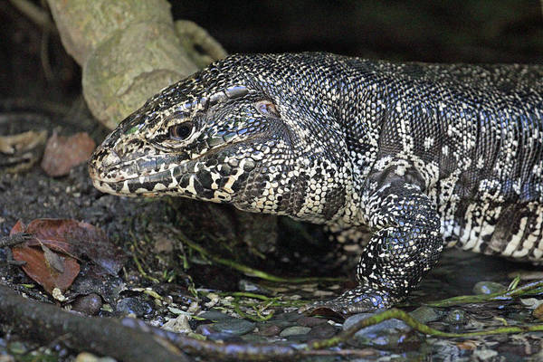 Photograph - Tegu by Jennifer Robin