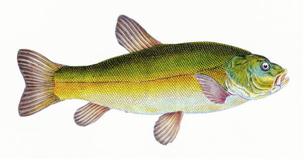 Drawing - Tench  by David Letts
