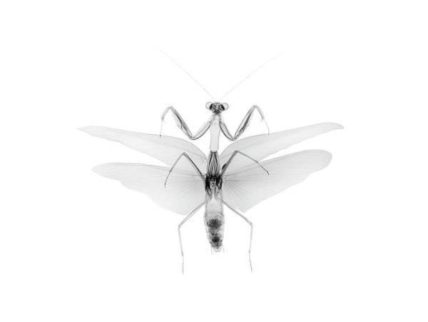 X Wing Photograph - Tenodera Australaiiae by Nick Veasey