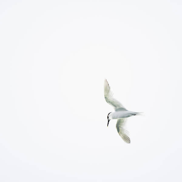 Tern Wall Art - Photograph - Tern Flying Against White Background by Roine Magnusson