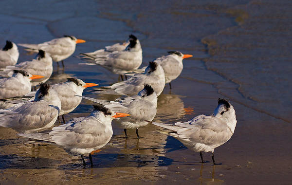 Wall Art - Photograph - Terns Flock Into Wind by Melinda Moore