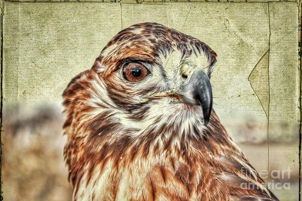 White-tailed Kite Photograph - Tess The Lady Hawk Antiqed Postcard by Janice Pariza