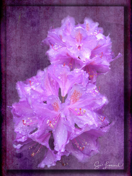 Photograph - Testrured Rhododendrons by Susan Leonard