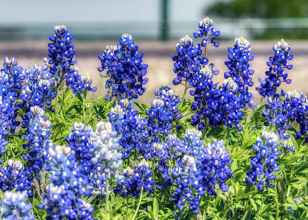 Photograph - Texas Bluebonnets 040819 by Rospotte Photography