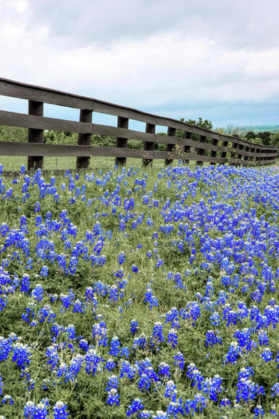 Photograph - Texas Bluebonnets 040919 by Rospotte Photography