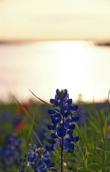 Photograph - Texas Bluebonnets 3 by Andrea Anderegg
