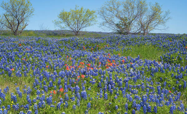 Photograph - Texas Bluebonnets 4 by Andrea Anderegg