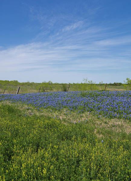 Photograph - Texas Bluebonnets 6 by Andrea Anderegg